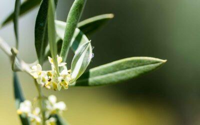 La Flor del olivo y sus curiosidades